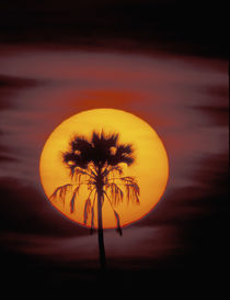 Africa, Botswana, Okavango Delta, Ngamiland. Sunset and palm by Danita Delimont