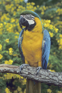 Blue and Yellow Macaw, (Ara ararauna), captive, South America. by Danita Delimont