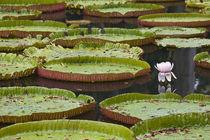 Mauritius, Pamplemousses, SSR Botanical Gardens by Danita Delimont