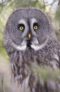 Great Gray Owl (Strix nebulosa) by Danita Delimont
