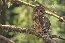Spotted Owl in Mt. Hood Forest, Oregon, USA. by Danita Delimont