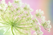 USA, Washington, Close-up of cow parsnip flower with colorful background by Danita Delimont