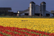 NA, USA, Washington, Skagit Valley, Field of tulips and barn with silos by Danita Delimont
