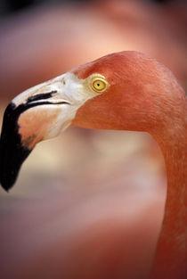 Caribbean, Bahamas, Nassau Pink Flamingo, Adastra Gardens by Danita Delimont