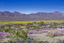 Sand Verbena & Desert Gold at Amboy Crater, CA, USA by Danita Delimont