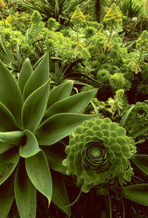 Succulent garden with agaves, Agave parryi, Big Sur, California by Danita Delimont