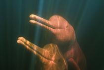 Boto, or Amazon River Dolphin (Inia geoffrensis) WILD, Rio Negro, BRAZIL by Danita Delimont