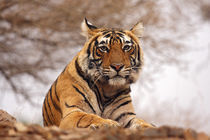 Royal Bengal Tiger - a close up, Ranthambhor National Park, India. von Danita Delimont