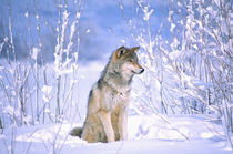 Timber Wolf sitting in the Snow Canis lupus Movie Animal (Utah) von Danita Delimont