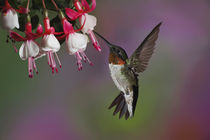 Male Ruby throated Hummingbird, Archilochus colubris, Kentucky by Danita Delimont