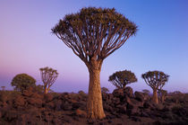 AFRICA, Namibia, Quiver tree forest at dusk by Danita Delimont