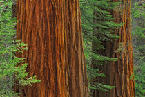 Giant Sequoia trunks in forest, Yosemite National Park, California by Danita Delimont