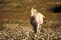 North America, USA, Oregon. Horse in a field of daisies by Danita Delimont