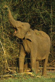Asiatic elephant foraging on bamboo, Nagarahole National Park von Danita Delimont