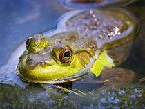North America, USA, New Jersey, Far Hills, Leonard J. Buck Garden. Bullfrog von Danita Delimont