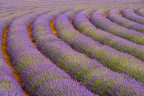 France, Provence region. Curved rows of lavender near the village of Sault, von Danita Delimont