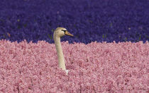 Europe,Holland,Swan nesting and alert in field of pink and blue hyacinths von Danita Delimont