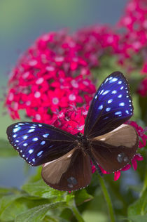 Sammamish Washington Photograph of Butterfly on Flowers by Danita Delimont