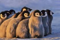 Emperor penguin chicks, Aptenodytes forsteri, Antarctica by Danita Delimont