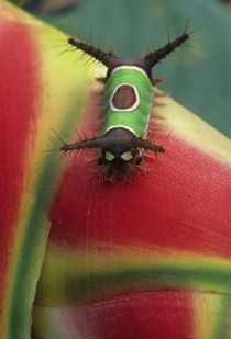 Costa Rica, Close-up of Caterpillar on Heliconia plant. Credit as by Danita Delimont