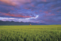 Barn amonst Wheat Field in the Mission Valley of Montana by Danita Delimont