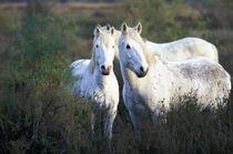 Europe, France, Ile del la Camargue. Camargue Horses (Eguus caballus) von Danita Delimont