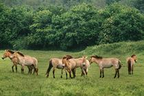 Herd of takhi, Equus ferus przewalskii, Lelystad, Netherlands by Danita Delimont