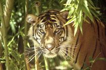 Sumatran Tiger (Panthera tigris sumatrae)USA von Danita Delimont