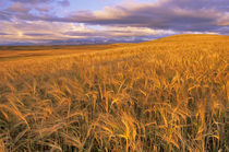Field of Ripening Barley along the Rocky Mountain Front near Dupuyer Montana von Danita Delimont