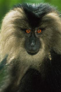 Lion-tailed macaque, Macaca silenus, India von Danita Delimont