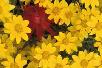 NA, USA, Washington, Cascades, Box Canyon Creek Paint brush and yellow daisies von Danita Delimont