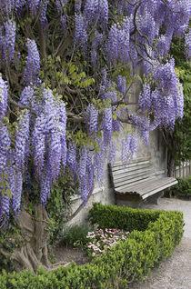 Europe, Austria, Salzburg Stadt, Salzburg, wisteria in Mirabell Garden von Danita Delimont