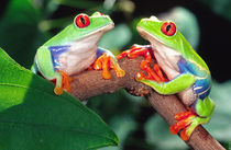 Red Eye Treefrog Pair, Agalychinis callidryas, Native to Central America von Danita Delimont