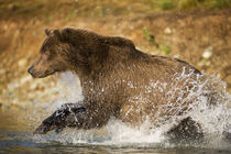 Grizzly Bear, Katmai National Park, Alaska by Danita Delimont
