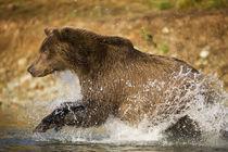 Grizzly Bear, Katmai National Park, Alaska von Danita Delimont