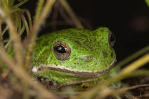 Close-up of a Barking treefrog von Danita Delimont
