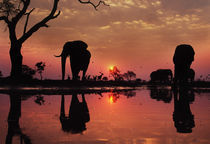 African elephants at sunset, Loxodonta africana, Botswana