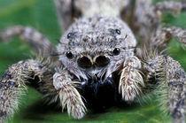 Metaphid Jumping spider (Metaphidippus sp) von Danita Delimont