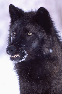 Black Timber Wolf Snarling Canus lupus Movie Animal, Utah von Danita Delimont