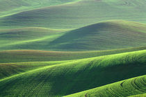 Wheat springs up in the hills of the Palouse Country near Kendrick, Idaho by Danita Delimont