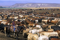 Cattle on a feedlot in Grandview, Idaho. von Danita Delimont