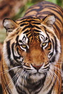Bengal Tiger, Tigris tigris by Danita Delimont