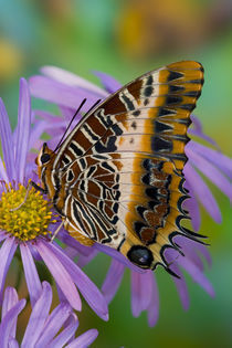 Sammamish Washington Tropical Butterflies photograph of Charaxes pollux von Danita Delimont
