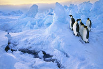 Emperor penguins at crack in sea ice, Aptenodytes forsteri, Antarctica by Danita Delimont