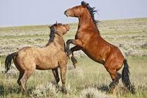 Feral Horse (Equus caballus) wild horses fighting by Danita Delimont