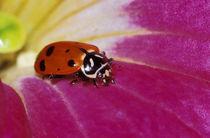 Ladybug Beetle. (Hippodamia convergens) by Danita Delimont