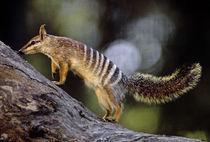 Numbat, Myrmecobius fasciatus, Western Australia von Danita Delimont