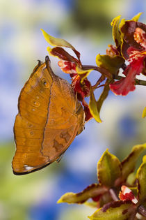 Sammamish Washington Tropical Butterflies photograph of Doleschallia bisaltide by Danita Delimont