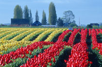 Rows of undulating red and yellow tulips in a rural Skagit county von Danita Delimont