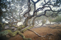 Coast live oaks in mist, Quercus agrifolia, Monterey Bay, California von Danita Delimont